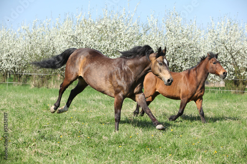 Quarter horse and hutsul running in front of flowering trees