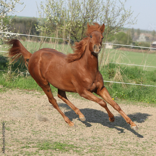 Young chestnut horse running in spring