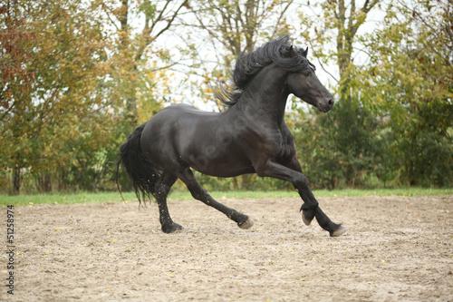 Czarny Koń ogier działa na piasku na jesieni