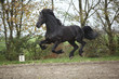Perfect friesian stallion flying