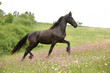 Friesian horse running on pasturage with pink flowers