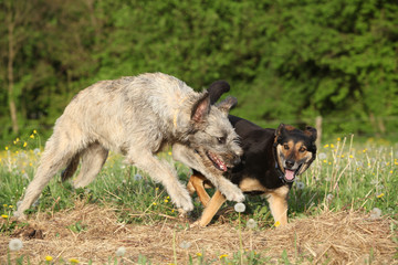 Two dogs playing with each other and running