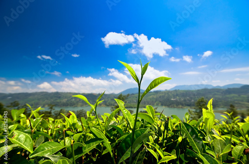 Green tea bud and leaves. Tea plantations