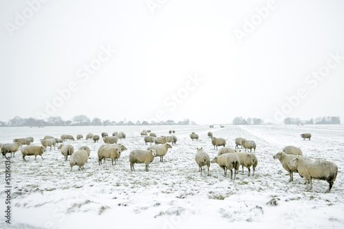 Sheep in the countryside from the Netherlands in winter