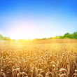 Golden Wheat Field - 51266314