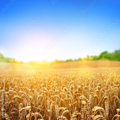Aluminium Cultuur Golden Wheat Field