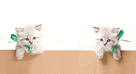 two little kittens look out from box