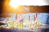 Fototapety Krokusse im Schnee unter abendlichem Frühlingslicht