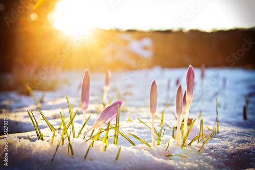 Fotobehang Krokus Krokusse im Schnee unter abendlichem Frühlingslicht