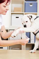 Tierarzt verbindet Pfote eines Hundes