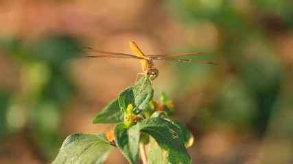 Dragonfly flying on green leaf