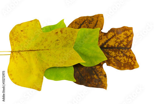 tulip tree leave in autumn composition