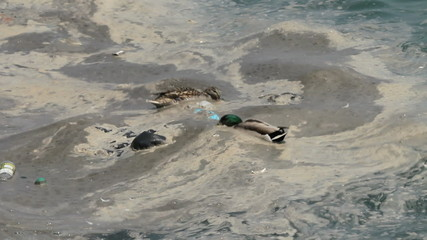 Ducks in polluted water