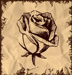 Vintage rose bud sketch illustration