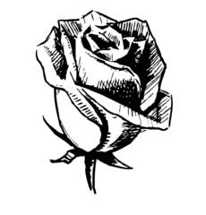 Rose bud sketch illustration