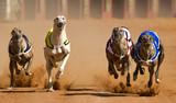 racing greyhouns