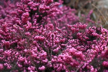 fiori rosa dietro la rete del giardino
