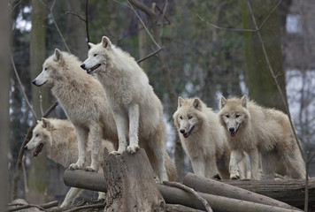 Horde of arctic wolves