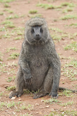 Sitted Olive Baboon