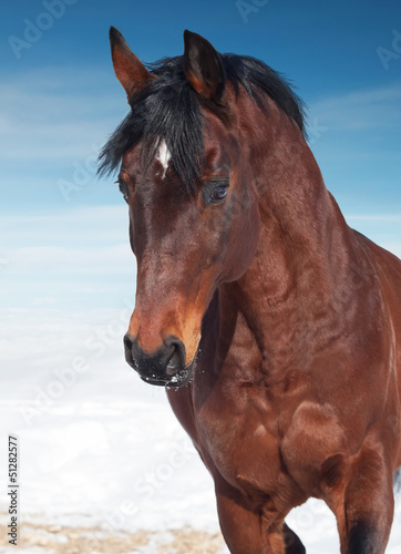 motion portrait of galloping beautiful   horse. winter
