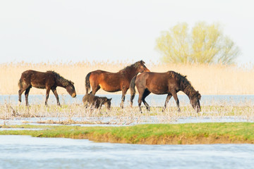 wild horses in the Danube Delta, Romania