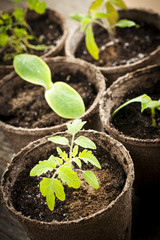 Seedlings growing in peat moss pots