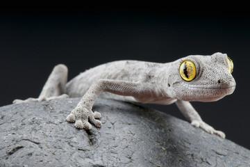 Spiny-tailed gecko / Strophurus spinigerus