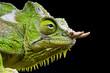 Four-horned chameleon / Trioceros quadricornis