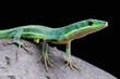 Emerald grass lizard / Takydromus smaragdinus