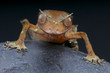 Satanic gecko / Uroplatus phantasticus