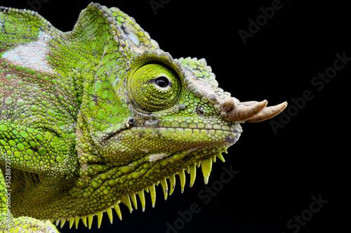 Staande foto Kameleon Four-horned chameleon / Trioceros quadricornis