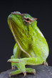 Chameleon / Trioceros wiedersheimi