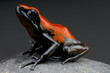 Splash-backed dart frog / Adelphobates galactonotus