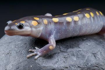 Spotted mole salamander / Ambystoma maculatum