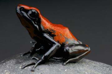 Splash-backed dart frog / Adelphobates galactonotus