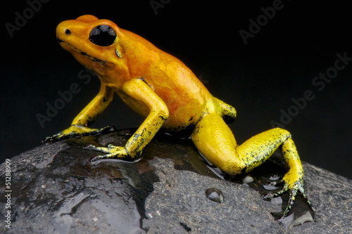Orange poison frog / Phylloates terribilis