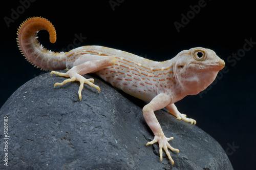 Scorpion gecko / Pristurus carteri