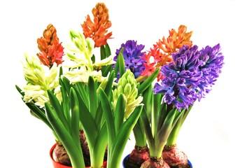 Frühblüher - Hyazinthen in verschiedenen Farben
