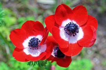Tris di anemoni rossi