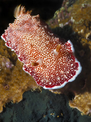 Nudibranch on coral (chromodoris reticulata)