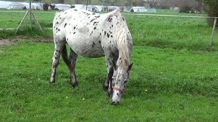 Freckle horse eating