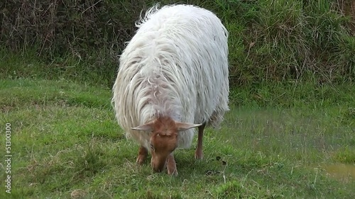 Blonde sheep latxa
