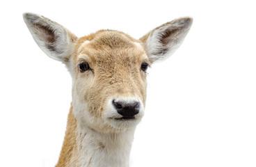 Cute White-tailed deer