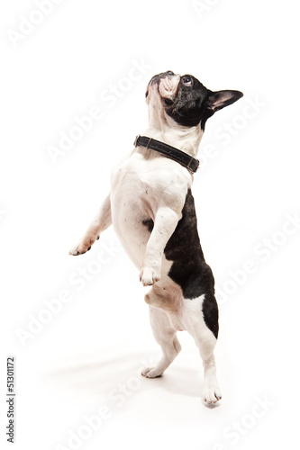 Bulldog on white background jump up