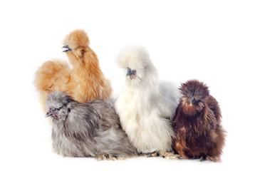 groupe de poules d'ornements
