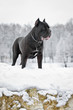italiano breed, in Russia.  A dog on a rock. Winter portrait