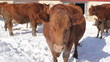 Brown cow in Winter. Ontario.