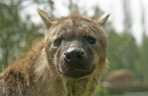 Fotobehang Hyena Striped hyena