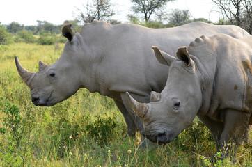 close up of rhino in Khama reserve,Botswana