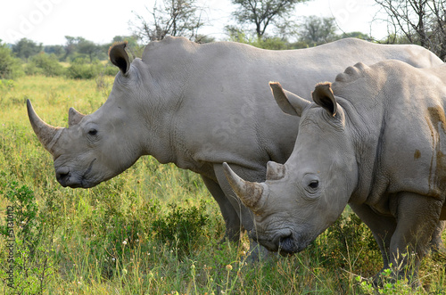 close up of rhino in Khama reserve,Botswana